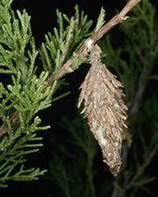 bagworm cocoon